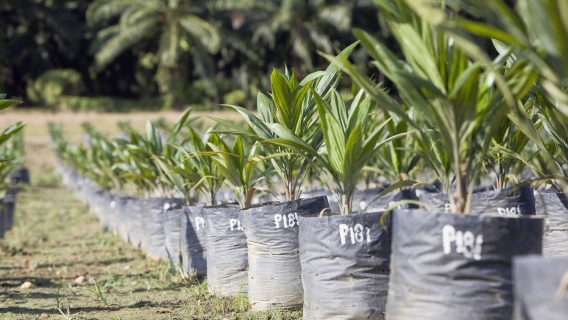 Traceability of palm oil